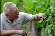 Pierre Trimbach inspecting grapes